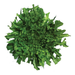 Green Oak Ezatrix กรีนโอ๊คอีซาทริก