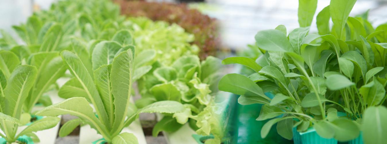 ฟาร์มผักสด ฟาร์มผักสลัด ฟาร์มผักสมุนไพร
