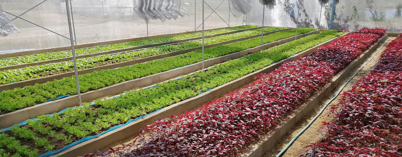ฟาร์มผักออแกนิกส์
