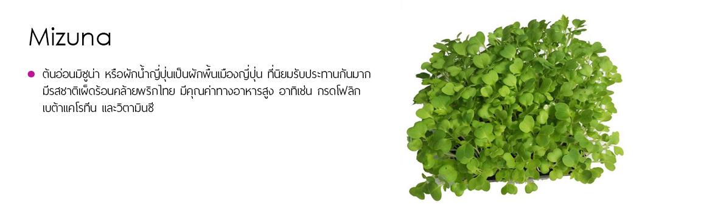 Microgreens Mizuna ไมโครกรีนมิซูน่า